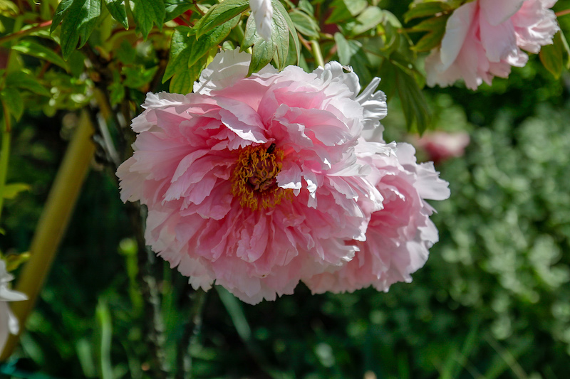 fiori peonia